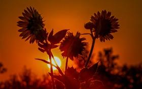 Обои солнце, закат, цветы, подсолнух