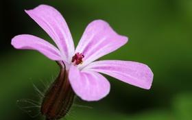 Обои цветок, природа, краски, лепестки, тычинки