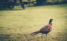 Обои трава, перья, фазан