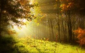 Картинка лес, лучи, свет, деревья, природа