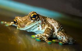 Обои legs, frog, reptile, eyes