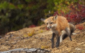 Обои природа, дождь, лиса
