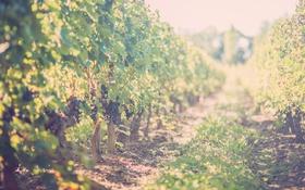 Картинка виноград, виноградник, солнечный