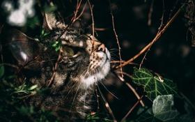 Обои кот, взгляд, листья, охота, полосатый