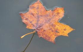 Картинка клен, лист, вода, осень