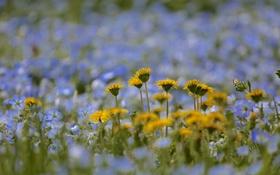 Обои поле, природа, одуванчик, луг