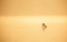 Обои природа, утка, озеро, утро, туман