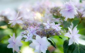 Обои белые, цветы, гортензия, лето