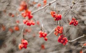 Обои ягоды, осень, природа