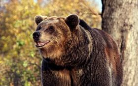Обои зверь, медведь, дерево