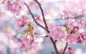 Обои цветы, вишня, ветка, весна