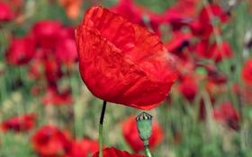Обои цветок, красный, мак, лепестки, много