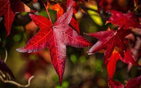 Обои багрянец, клен, природа, листья, осень
