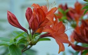 Обои листья, азалия, бутоны, красная, цветы