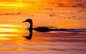 Обои вода, закат, озеро, пруд, цвет, утка