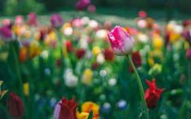 Обои природа, парк, тюльпан, лепестки, сад, луг