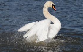 Обои белый, брызги, крылья, грация, лебедь