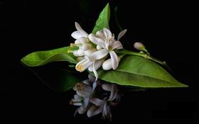 Картинка цветение, цветочки, листья, белые, ветка