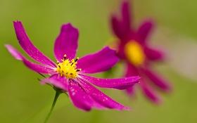 Обои цветок, краски, лепестки, космея