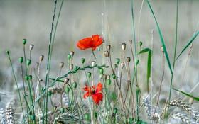 Обои поле, трава, макро, цветы, колос, мак, луг