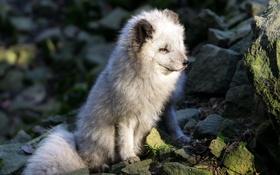 Обои природа, фон, Arctic Fox