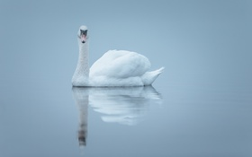 Обои туман, озеро, отражение, зеркало, лебедь
