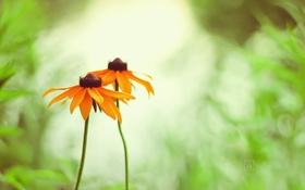 Картинка лето, трава, цветы, оранжевые, маргаритки