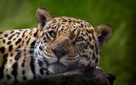 Обои природа, красота, ягуар