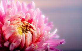 Обои хризантема, цветок, лепестки, макро