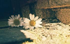 Обои улица, ромашки, макро, цветы