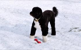 Обои Washington, winter, dog, player)