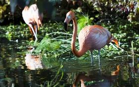 Обои заросли, птица, грация, фламинго, водоём