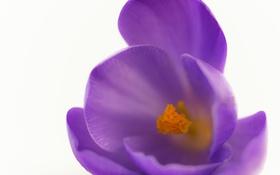 Картинка цветок, макро, сиреневый, крокус