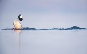 Картинка озеро, лыжи, малый гоголь