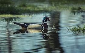 Обои утка, волны, зеркало, озеро