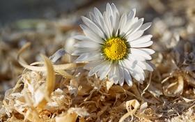 Обои цветок, макро, ромашка