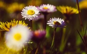 Обои белые, лепестки, цветы