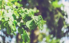 Обои листья, береза, ветка
