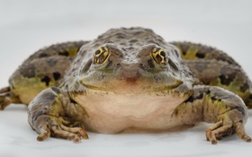 Обои природа, макро, жаба