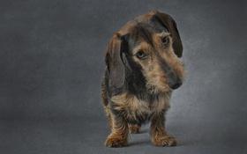 Обои взгляд, друг, собака, Wirehaired miniature Dachshund