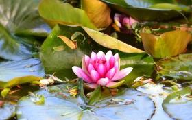 Обои листья, вода, водяная лилия