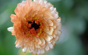 Обои цветок, макро, вид сверху, календула