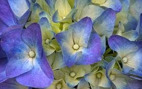 Обои цветы, ковер, лепестки, гортензия, hydrangea