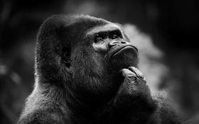 Обои обезьяна, горилла, самец