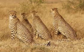 Обои трава, кошки, семья, семейство, гепарды