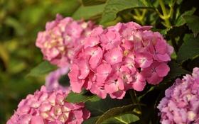 Картинка цветы, природа, гортензия