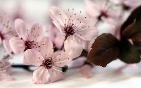 Обои природа, весна, яблоня