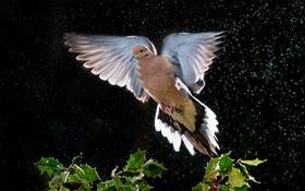 Обои дождь, птица, голубь