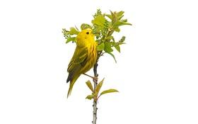 Обои желтая камышевка, птица, листья, растение