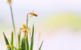 Картинка цветы, фон, нарцисы